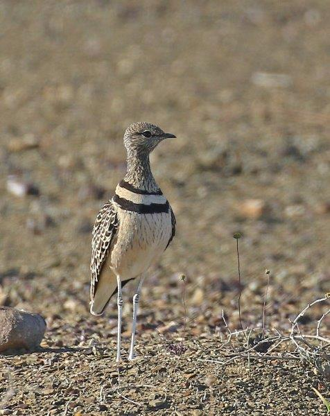 Double-banded Courser - Frank Hallett