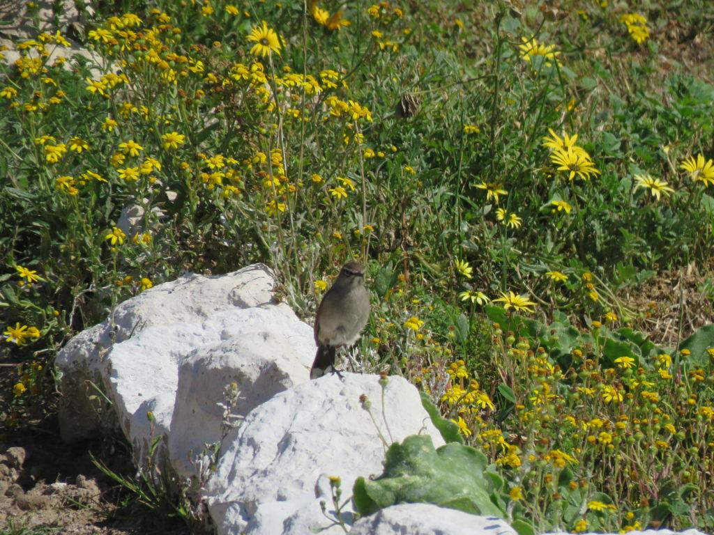 Karoo Scrub Robin in Spring flowers - Karin Wilson