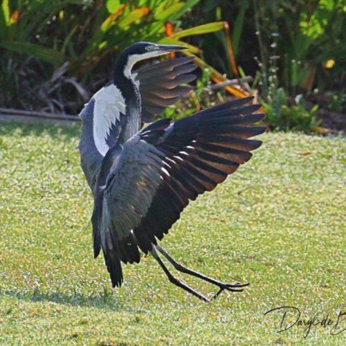 Black-headed Heron. Photograph by Daryl de Beer