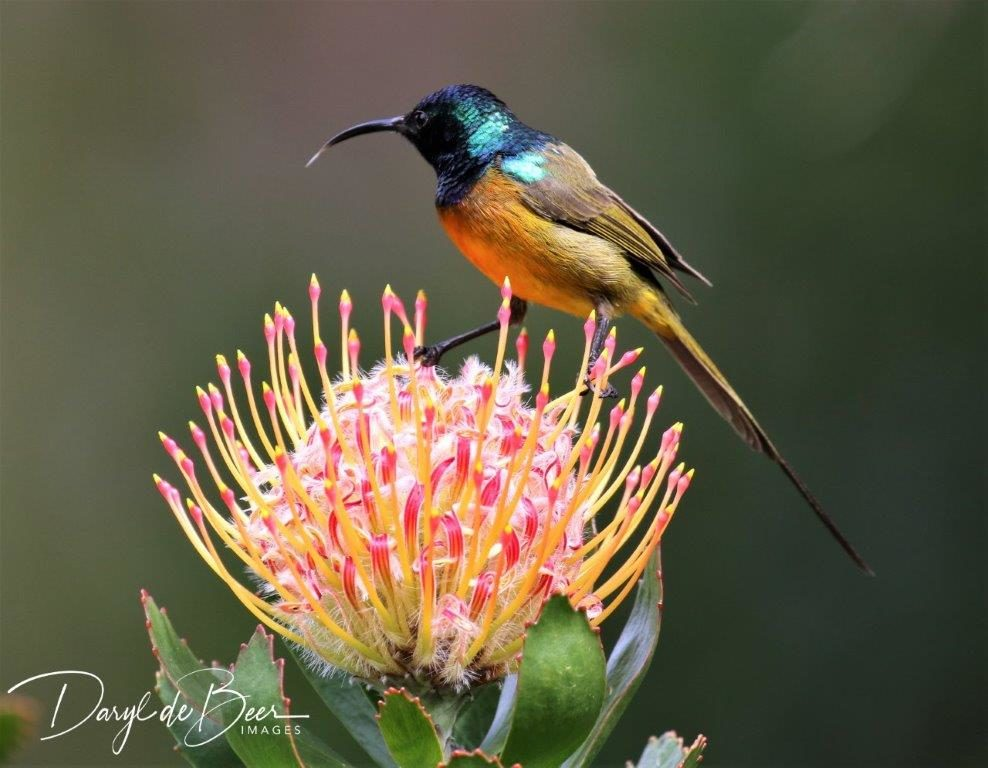 Orange-breasted Sunbird. Photograph by Daryl de Beer.