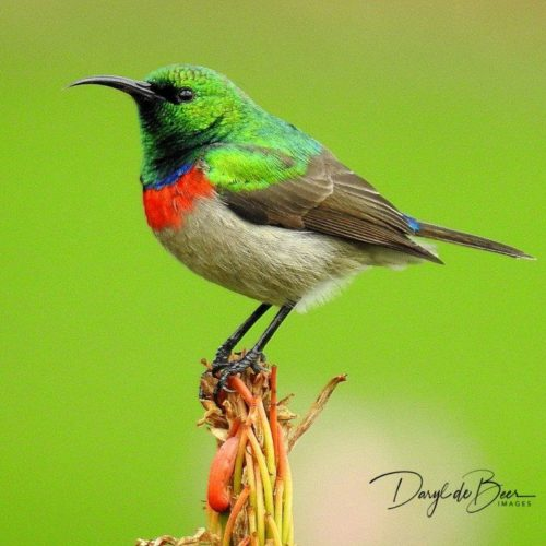 Southern Double-collared Sunbird. Photograph by Daryl de Beer