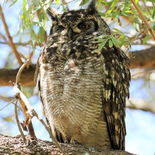 Spotted Eagle-Owl at Kirstenbosch. Photograph by Daryl de Beer