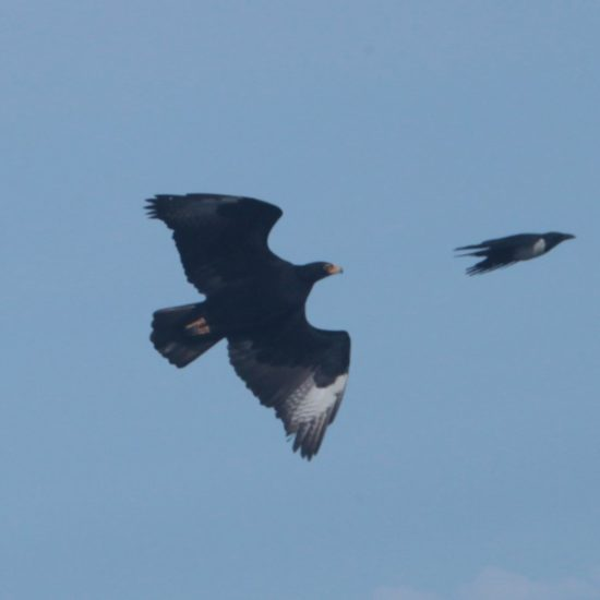 Verreaux's Eagle with Pied Crow at Silvermine. Photograph by Tim Butcher 21 July 2018