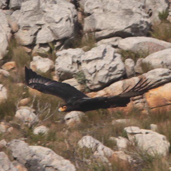 Verreaux's Eagle at Silvermine. Photograph by Tim Butcher 21 July 2018