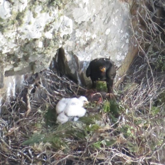 Verreaux's Eagle feeding chick at Silvermine. Photograph by Tim Butcher 10 August 2018