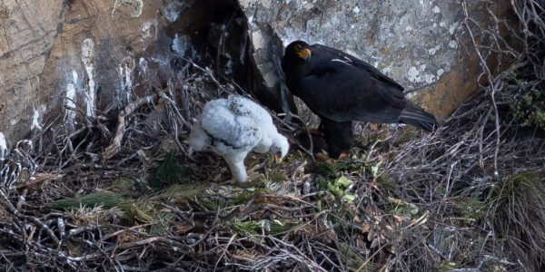 Verreaux's Eagles at Silvermine