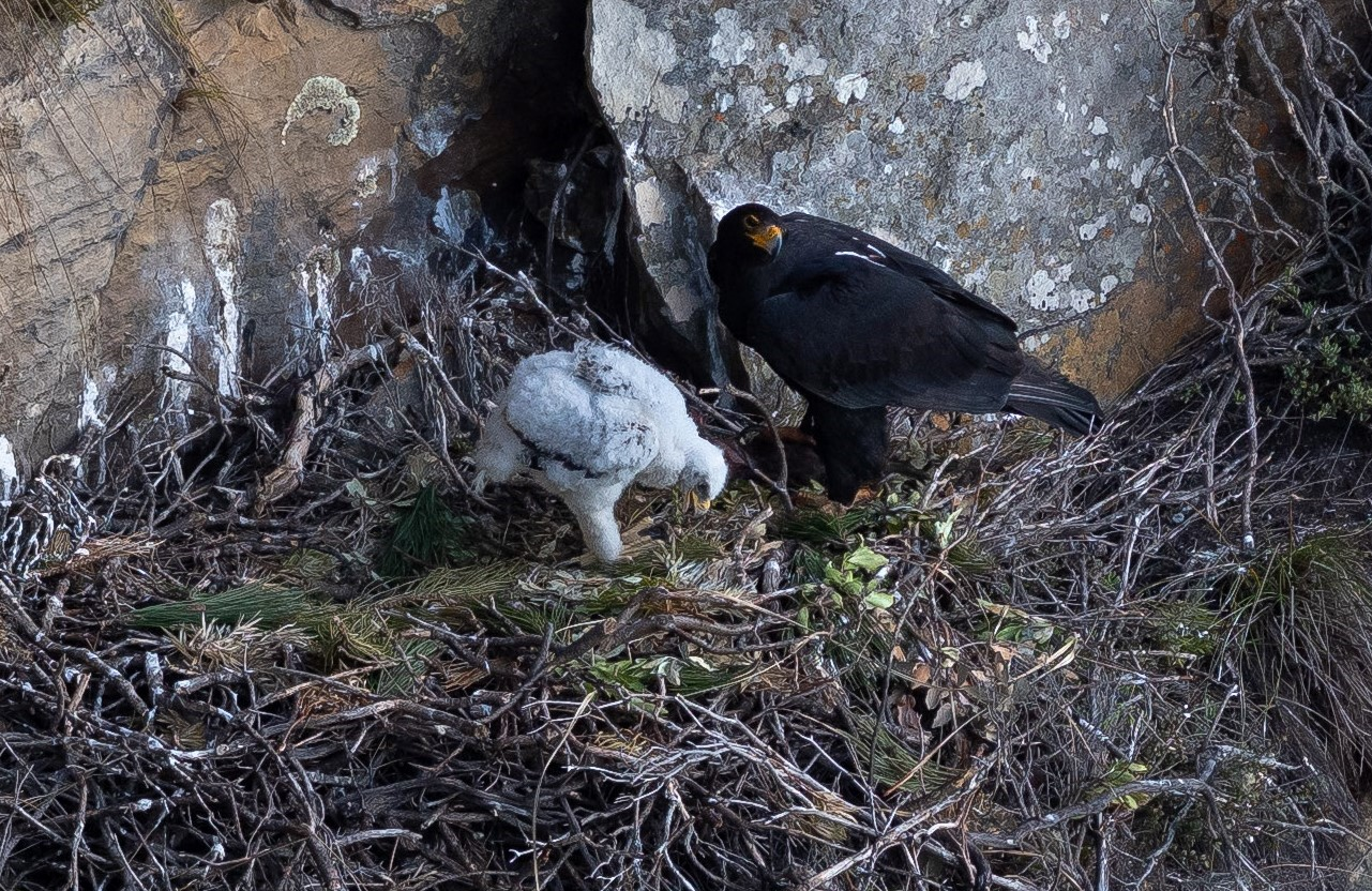 Verreaux's Eagle feeding chick at Silvermine. Photograph by John Gale 10 August 2018
