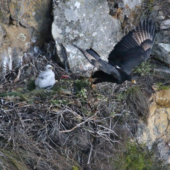 Verreaux's Eagle adult and chick at Silvermine. Photograph by John Gale 10 August 2018
