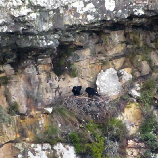 Verreaux's Eagle nest at Silvermine. Photograph by Tim Butcher 28 June 2018