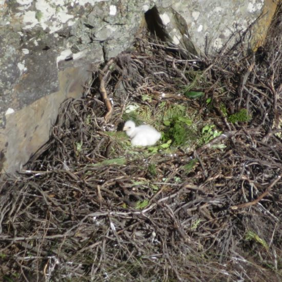 Verreaux's Eagle chick on nest at Silvermine. Photograph by Tim Butcher 21 July 2018