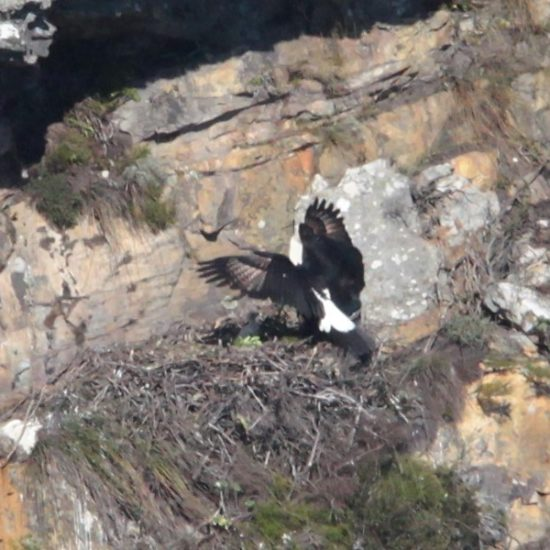 Verreaux's Eagle nest at Silvermine. Photograph by Tim Butcher 21 July 2018
