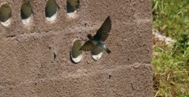 Brown-throated Martin coming into land. Photograph by Rod Douglas