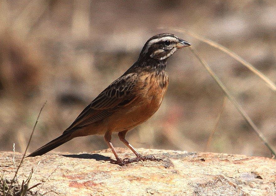Cinnamon-breasted Bunting - Graham Pringle