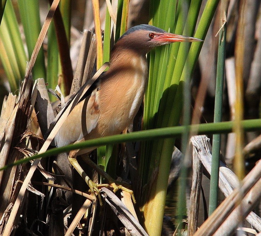 Little Bittern - Graham Pringle