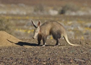 Aardvark at Tankwa Karoo National Park. Photograph by Frank Hallett
