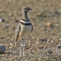 Double-banded Courser. Tankwa Karoo. Photograph by Frank Hallett.