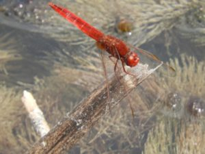 Dragonfly at Clovelly. Photograph by G Barnes