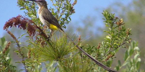 Kirstenbosch Bird Walk –  20 February 2019 led by Otto Schmidt.