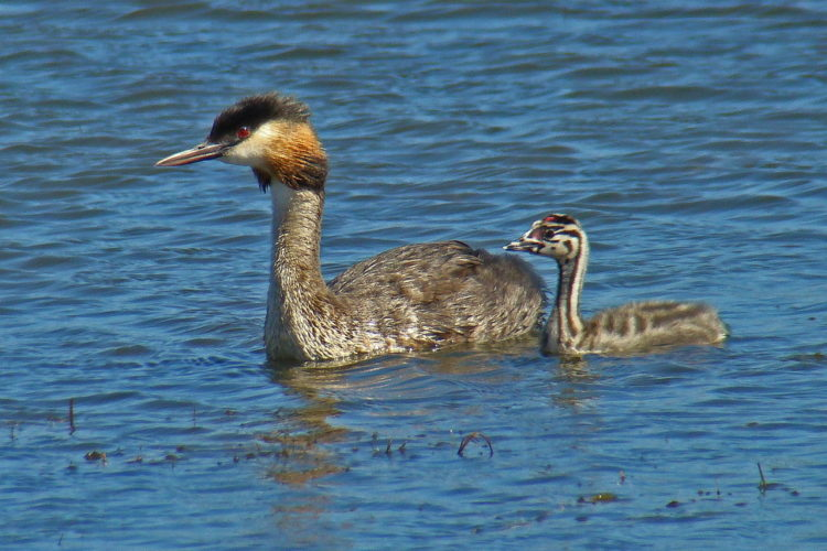 Great-crested Grebe (+ chick) - Derek Longrigg