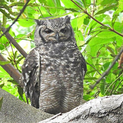 cbc kirstenbosch walk 02 LdeB march 2019 Eagle Owl - Daryl De Beer