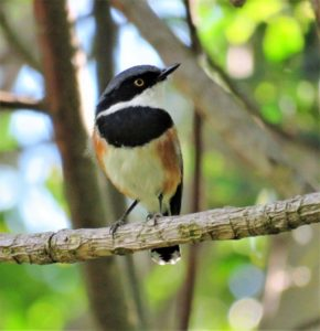 Cape Batis. Photograph by Daryl de Beer