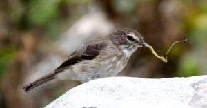 Dusky Flycatcher. Silvermine Reserve. Photograph by Daryl de Beer
