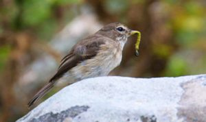 Dusky Flycatcher with food. Photograph by Daryl de Beer