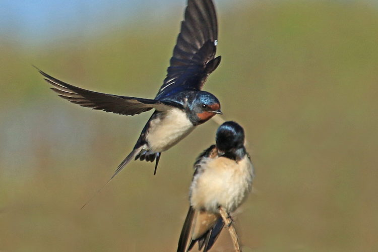 Barn Swallow - Derek Longrigg