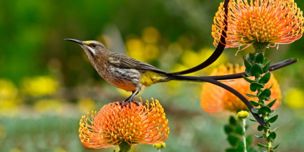 Kirstenbosch Bird Walk –  28 December 2019 led by Linda Hibbin.