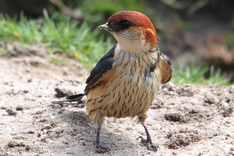Greater Striped Swallow - Graham Pringle