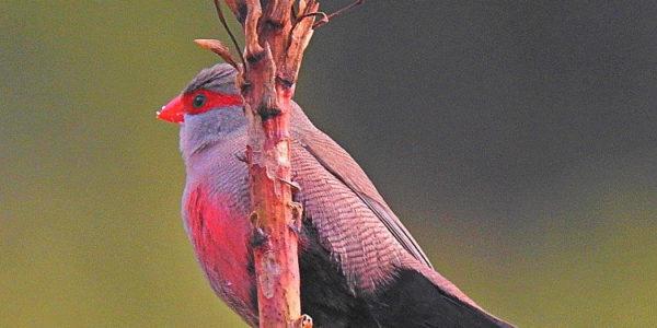 Kirstenbosch Bird Walk –  13 August 2019 led by Dennis Laidler.