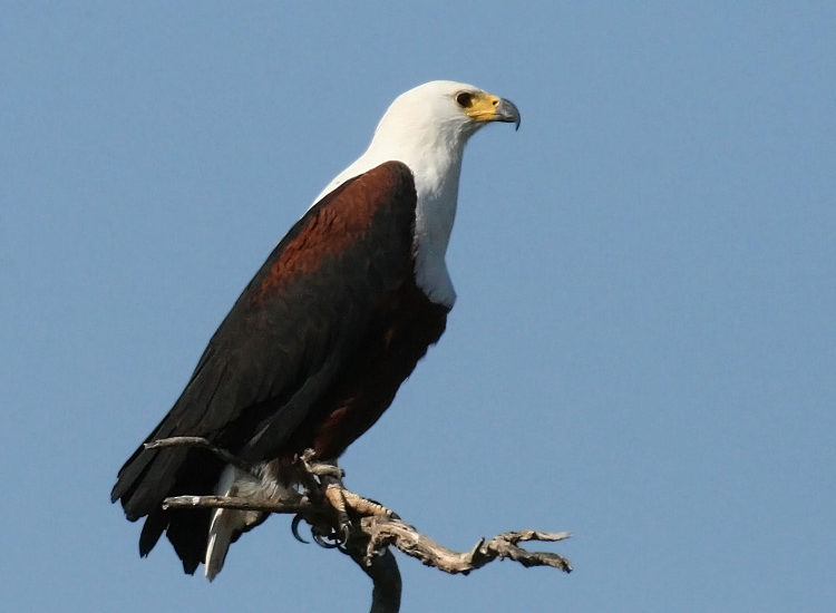 African Fish Eagle by Greg Morgan.