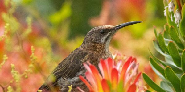 Kirstenbosch Bird Walk –  11 November 2019 led by David Swanepoel.