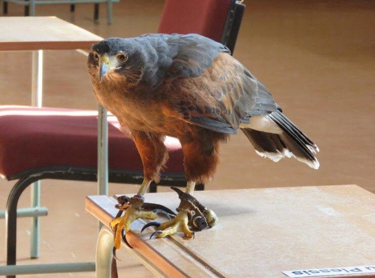 Morticia the Harris Hawk. Photo by Priscilla Beeton