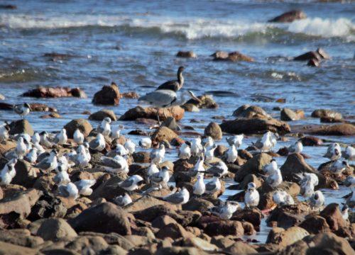 Terns at the Kom _ Dennis Laidler